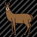 animal, llama, mammal, wild, wildlife