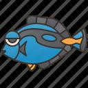 reef, regal, colorful, tang, surgeonfish