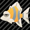angelfish, aquarium, colorful, freshwater, tropical