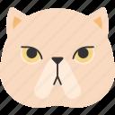 animal, breed, british, cat, exotic shorthair, pet