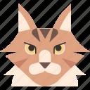 animal, breed, british, cat, maine coon, pet