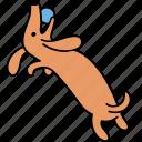 animal, ball, canine, dachshund, dog, pet, play