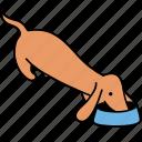 animal, canine, dachshund, dog, eats, food, pet