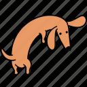animal, back, canine, dachshund, dog, look, pet