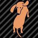 animal, back, canine, dachshund, dog, pet, turn