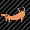 animal, canine, dachshund, dog, pee, pet, urinate