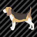 beagle, breed, dog, mammal, pet
