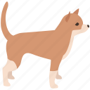 chihuahua, dog, house, indoor, miniature, pet, small icon