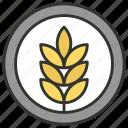 durum wheat, ear of wheat, grain, wheat, wheat ear