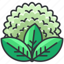 cauliflower, food, health, organic, vegetable icon