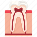 dental, dentist, molar, premolar, teeth, tooth icon