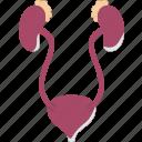 kidneys, renal, cortex, urethra, bladder icon