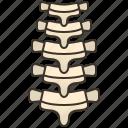 anatomy, backbone, orthopedic, skeleton, spine
