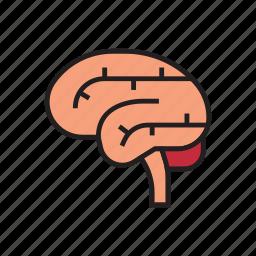 body, brain, healthy, human, internal organs, organs, think icon