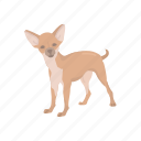 animals, canine, chihuahua, dog, mammal, pet, teacup dog