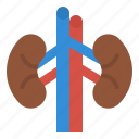 anatomy, human, kidneys, medical, organ icon