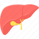anatomy, detoxification, hepatology, liver, medical, organ icon