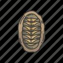 animal, chiton, marine animal, mollusk, sea cradles, seashell, shell icon