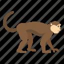 animal, macaca, macaque, monkey, nature, primate, sylvanus