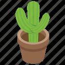 cacti, cactus, pot plant, succulent, wild plant