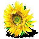 flower, plant, sunflower