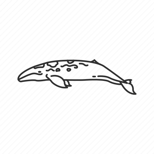 balaenopteridae family, baleen whale, humpback whale, large marine mammal, megaptera novaeangliae, whale icon