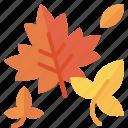 autumn, fall, leaf, leaves, maple, maple leaf