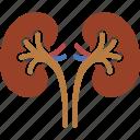 kidney, kidneys, organ, organs, ureter, urology