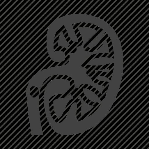 kidney, organ, stones, urology icon
