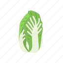 asian cabbage, cabbage, food, organic, vegetable, vegetarian icon